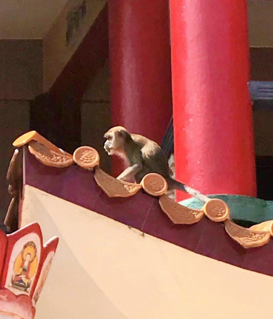 リンセントンで見た野生の猿