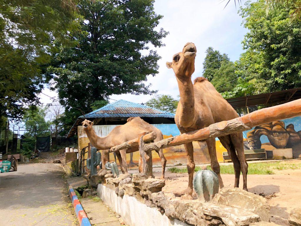 ジョホール動物園のラクダ