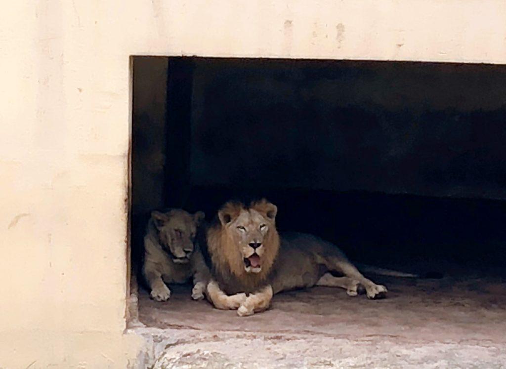 ジョホール動物園のライオン