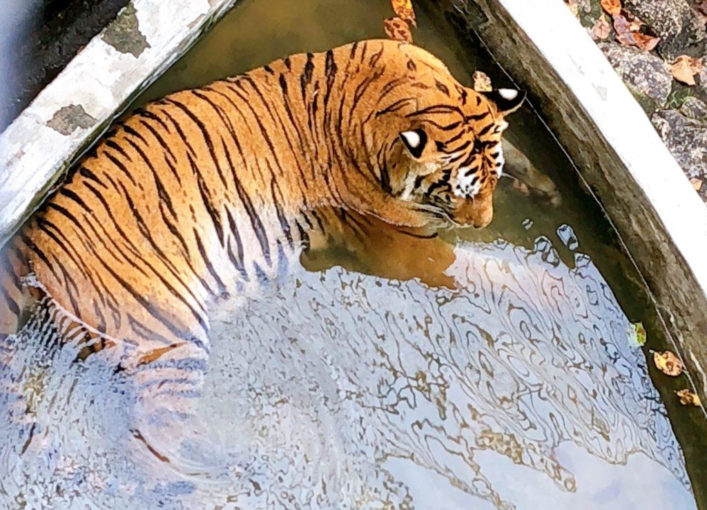 ジョホール動物園のトラ