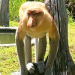 ラブックベイテングザル保護区はサンダカンの名所!行き方もご紹介