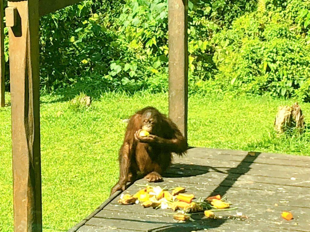餌を食べている子どもオランウータン