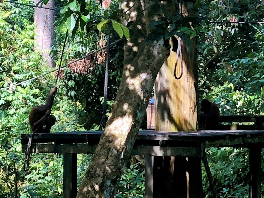 オランウータンの餌付け風景